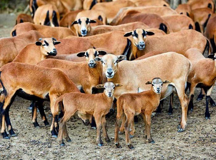 Sheep of Cameroon
